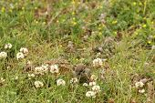 image of nibbling  - Female house sparrow (Passer domesticus) in the grass nibbling on clover blossoms.