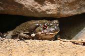 Colorado River toad Incilius Bufo alvarius