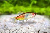 Glowlight Danio Danio choprai freshwater aquarium fish