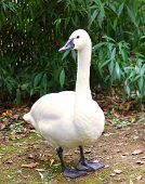 White Tundra Swan Cygnus columbianus bewickii whistling swan