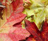 Fondo de hoja de arce de otoño