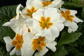 image of cowslip  - particular of  some white primroses in a small vase - JPG