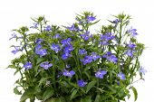 pic of lobelia  - A sprig of blue lobelia on a white background - JPG