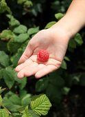 Big Raspberry On Child's Palm
