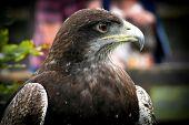 Black-chested Buzzard-eagle Portrait