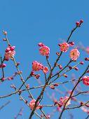 Japanese Sakura