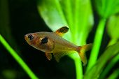 Aquarium Fish. Rosy Tetra. Nature Tank. Freshwater Tank. A Green Beautiful Planted Freshwater Aquari