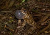 stock photo of wetland  - A calling male American Toad hoping to attract a mate in a spring time Wisconsin wetland - JPG