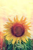 Sunflower In Vintage Look