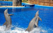 Three bottlenosed dolphins
