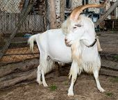 He-goat on farm.