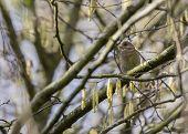 pic of mockingbird  - Greenfinch spotted in National Botanic Gardens Dublin Ireland - JPG