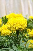 Yellow Marigold Flower In The Garden