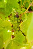 picture of shiraz  - Loose bunch of Shiraz grapes starting to turn red - JPG