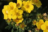 stock photo of century plant  - Blossoms of the shrubby cinquefoil  - JPG