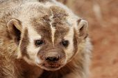 pic of badger  - Portrait of American badger  - JPG