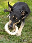 Dog Eating Circular Bone