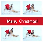 Merry Christmas Card With Collie Dog