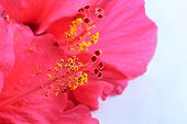 stock photo of rosa  - Red flower- Hibiscus rosa sinensis isolated on white background