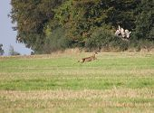 stock photo of deer family  - European roe deer (Capreolus capreolus) on the flight.