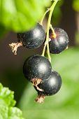 Organic black currant on branch