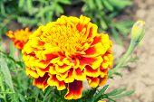 Beautiful yellow marigold in garden