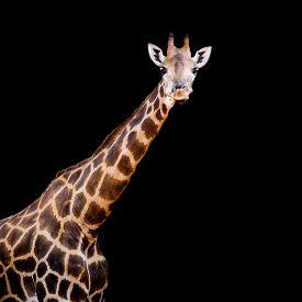 stock photo of herbivore animal  - close up giraffe animal wildlife black color background - JPG