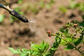 image of larva  - Spraying Insecticide on Colorado Potato Beetle Bug Larvas in Cultivated Vegetable Garden - JPG