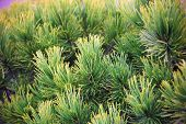 picture of thorns  - Yellow and green pine thorns on the spring tree - JPG