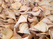 stock photo of conch  - Many large white conch shell in Thailand - JPG