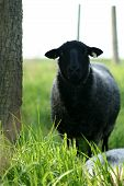Closeup Of A Sheep Standing Next To A Tree.