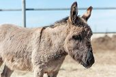 stock photo of headstrong  - Gray donkey on the farm summer day - JPG