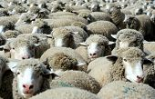 pic of overpopulation  - large herd of sheep heading south for winter pasture - JPG