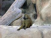 image of guinea  - A guinea baboon  - JPG