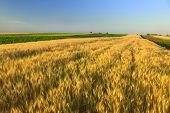 stock photo of nubian  - sunset over wheat field - JPG