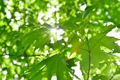 pic of canada maple leaf  - Beautiful fresh green maple leaves against the sun with sunbeams - JPG