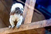 picture of titi monkey  - Monkey titi cotton - JPG