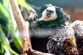 stock photo of titi monkey  - Monkey white - JPG