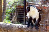 foto of marmosets  - Monkey sitting on wood log in zoo cel - JPG