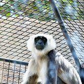 stock photo of hanuman  - Gray langurs or Hanuman langurs monkey in zoo cell - JPG