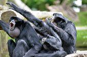 image of screaming  - Siamang Gibbon family screaming in fota wildlife park near cobh county cork ireland - JPG