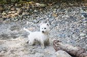 picture of westie  - Wonderful West Highlands Terrier on the sand of a beach horizontal image - JPG