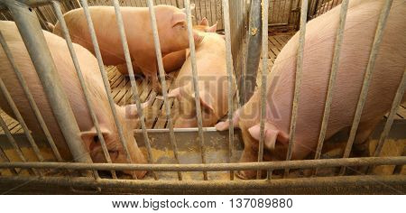 Fat Pigs In A Sty