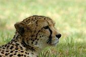 Guepardo en África