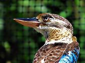 stock photo of blue winged kookaburra  - blue winged kookaburra taken at the zoo in Australia - JPG