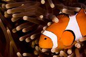 Clown Anemonefish Swimming Across Shot In Anemone