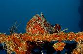 Giant Frogfish (orange)