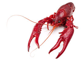 image of crawdads  - red boiled crawfish over the white background - JPG