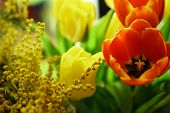 Bouquet of yellow and red tulips. Yellow mimosa in flower arrangement. Floral background. Spring mood.