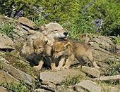 Gray Wolf With Her Cubs